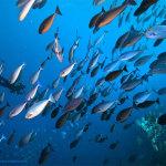 Diver,-batfish-schooling-fish_low-res