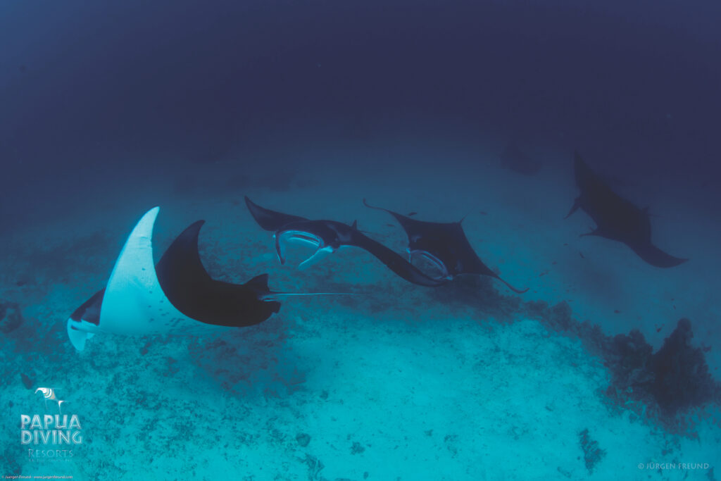 Diving and snorkelling with Manta Rays